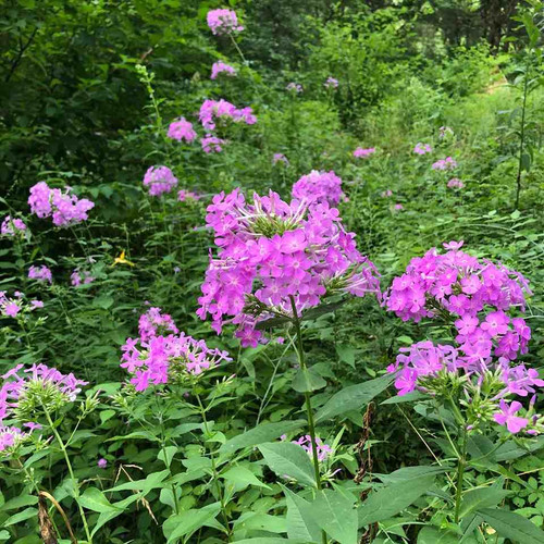 Phlox paniculata - wild form, south central Indiana genotype prefers some shade during the day