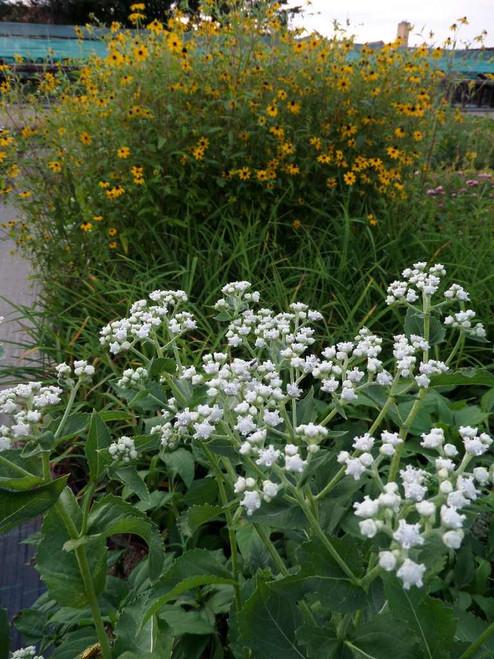 Parthenium integrifolium - long flowering, adaptable and unique native perennial