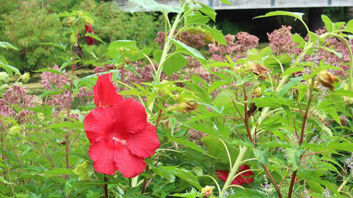 Hibiscus x 'Lord Baltimore' - vigorous and robust perennial with red flowers.