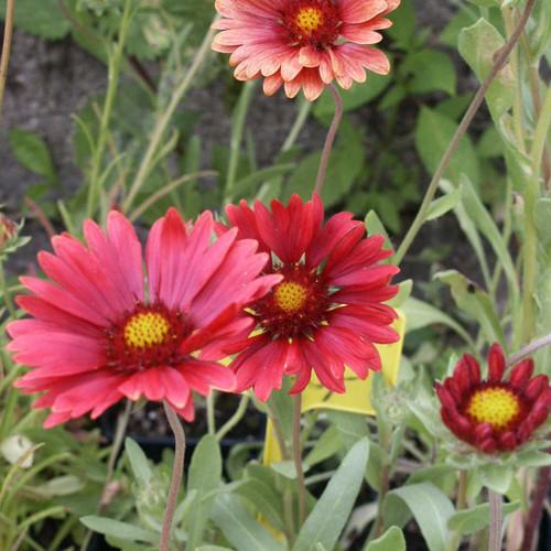 Blanket Flower 'Burgundy' (Gaillardia aristata 'Burgundy') - nice shorter-lived perennial for sun and well drained soils