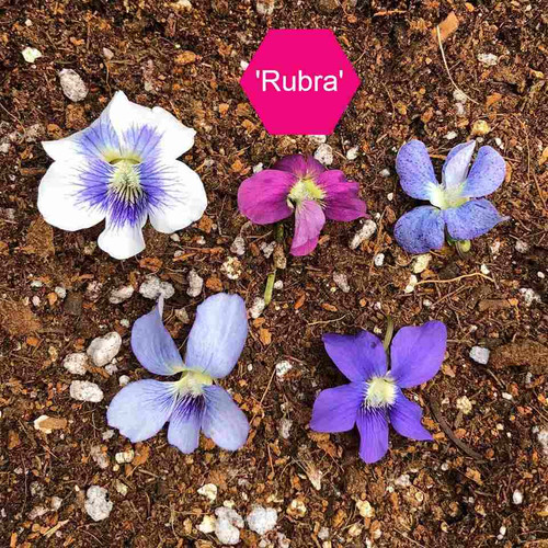 Viola sororia 'Rubra' - little early spring perennial for naturalizing