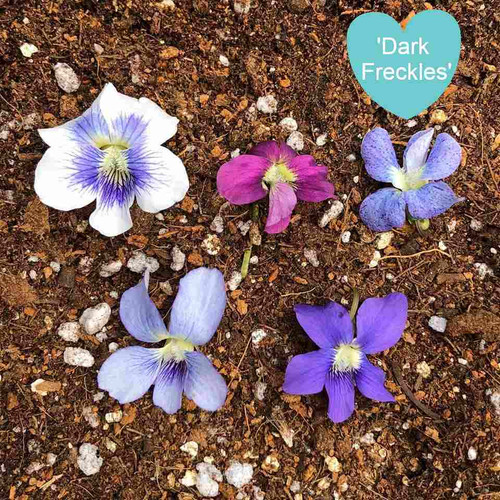 Viola sororia 'Dark Freckles' - small spring perennial for naturalizing under big trees or in lawn