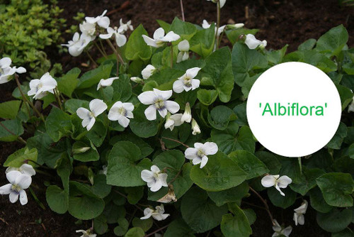 White flowering common violet ('Albiflora') is little spring gem and was awarded by Award of Garden Merit in Britain