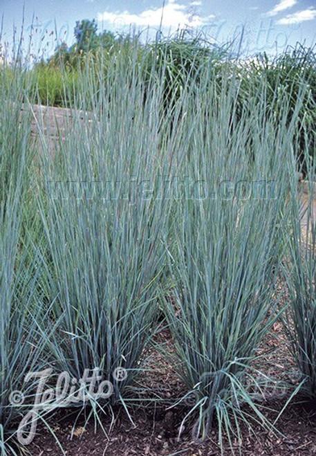 Little Bluestem 'Prairie Blues' (Schizachyrium scoparium 'Prairie Blues') - nice upright grass with blue gray leaves ©Jelitto