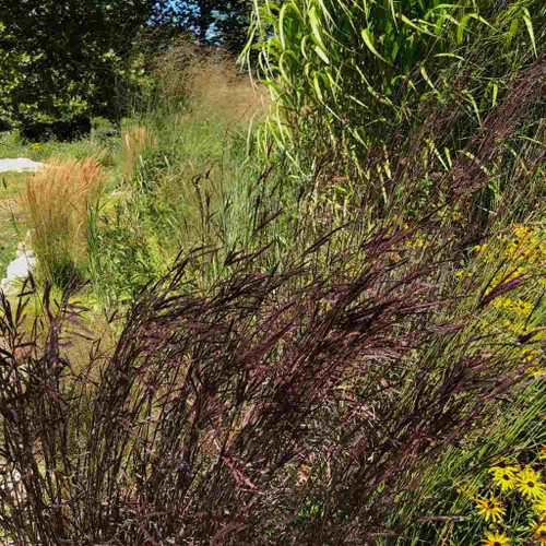 Andropogon gerardii 'Blackhawks' - cultivar of Big Bluestem with exquisite summer and fall color and more desirable shorter height of 4-5'.