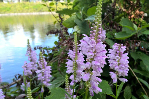 Physostegia virginiana 'Pink Manners' - non-spreading, clump perennial with long flowering season