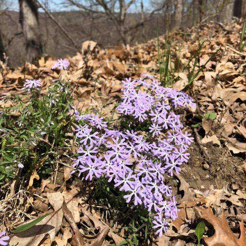 Sand Phlox - Phlox bifida can grow on the woodland edge that gets only some sunshine in summer, because it's partially shaded by tall trees.