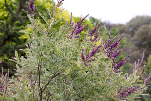 Amorpha nana - Fragrant False Indigo - Dwarf Leadplant - thrives in sunny garden with dry soil