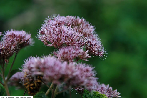 Eupatorium 'Little Joe' (Eutrochium)  - reliable low-maintenance perennial that will attract butterflies, bees and birds to your garden