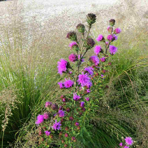 Liatris scariosa - Devil's Bite - Large Liatris - late flowering perennial essential late food source for Monarch butterflies and skippers
