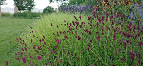 Great Burnet 'Tanna' with Sesleria autumnalis (soft green grass) and Hemerocallis in perennial flower bed