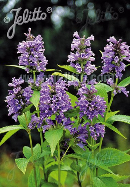 Nepeta subsessilis 'Blue Dreams'  - Japanese catmint - attractive for pollinators and butterflies, great companion to daylilies