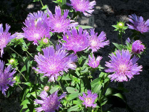 Stokesia laevis 'Peachie's Pick' - perennial for sunny border and butterflies