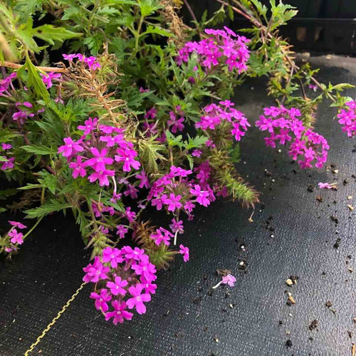 Rose Vervain - Glandularia canadensis - Verbena canadensis 'Anna's Pink' - showy native perennial for average to dry soils