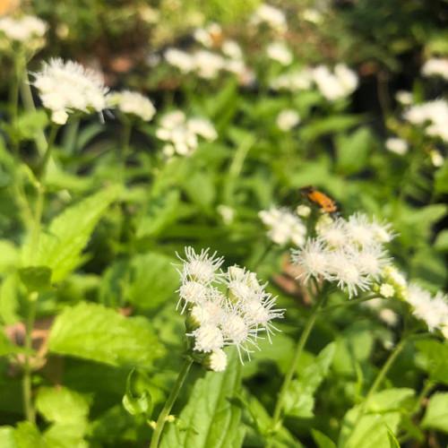 White form of blue mist flower - Eupatorium coelestinum 'Album' - perennial for sun, half-shade to light shade and average to moist soil