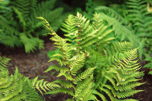 Dryopteris marginalis - eastern USA native fern that grows well in dry half shade or dry shade