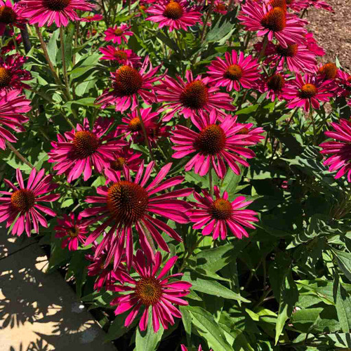 Echinacea x hybrid 'Kismet Raspberry' is very dense compact perennial with very long flower display