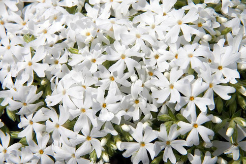 Creeping Phlox 'Snowflake' - low, mat forming perennial with spring flowers