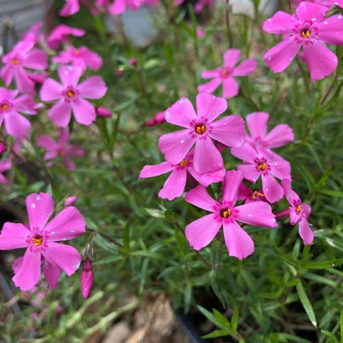 Creeping Phlox 'Millstream Daphne' - spring flowering perennial for edges or sunny dry bed
