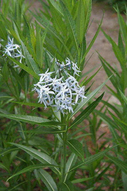 Amsonia illustris (Shining Bluestar or Ozark Bluestar) - adaptable and no maintenance perennial