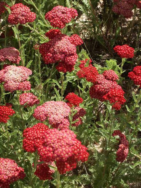 Achillea millefolium 'Paprika' - easy to grow perennial for sunny garden