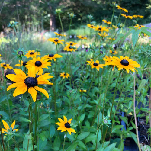 Rudbeckia fulgida var. fulgida - very late and very long flowering native perennial with universal garden use
