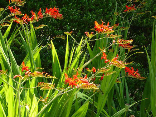 Crocosmia 'Lucifer' - perennial with striking red flowers in summer