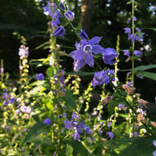Campanula americana - Tall Bluebell - upright, non flopping widlfower that stays in your garden by selfseeding