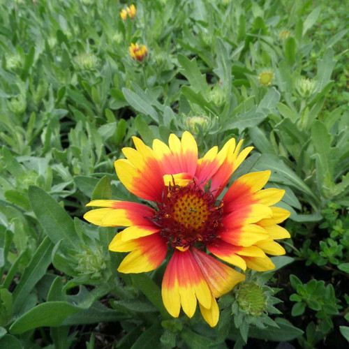 Gaillardia - Blanket Flower 'Goblin'- dwarf compact and short-lived perennial for sunny garden with drained or dry soil