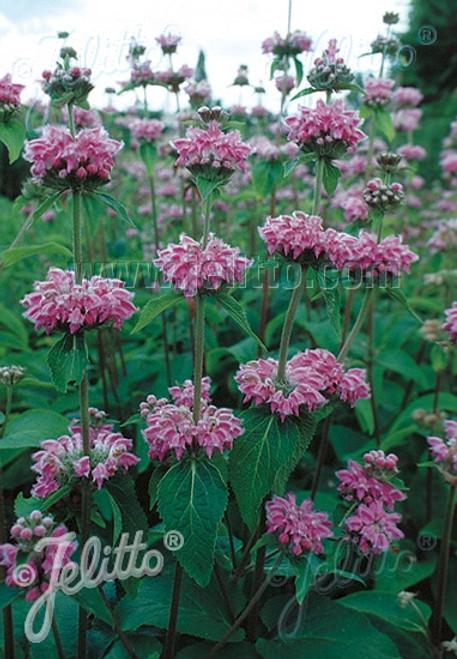 Phlomis kashmeriana - Kashmir Sage - showy drought tolerant perennial ©Jelitto