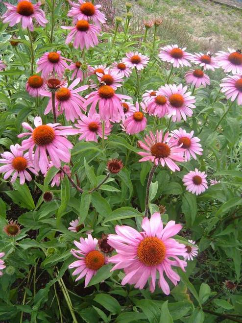 Echinacea purpurea 'Primadonna Deep Rose' - perennials for sunny border