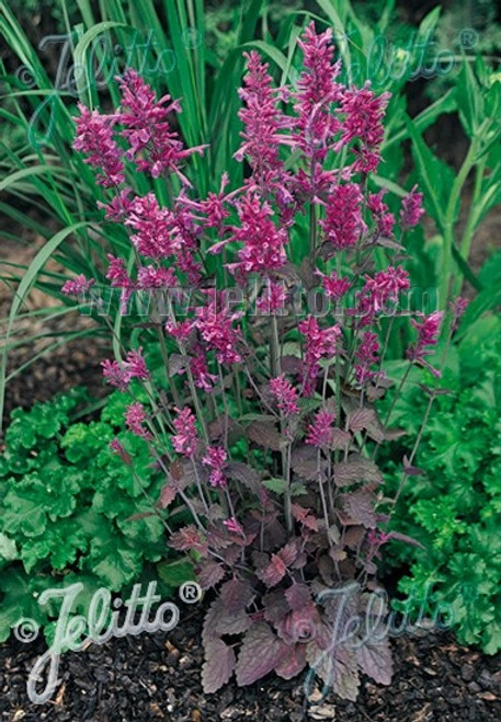 Hummingbird Mint - Agastache cana hybrid 'Bolero'  - easy to grow perennial in sunny bed with drained soil
