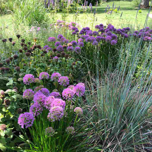 Allium 'Millenium' in naturalistic perennial bed, with Monarda bradburiana and Schizachyrium scoparium 'Standing Ovation', Bloominton, IN