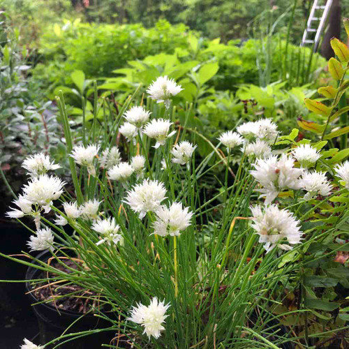 White Flowering Chives ('Album') is chic looking perennial and edible plant too