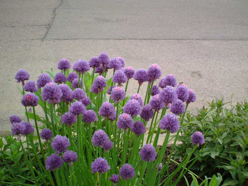 Chives 'Rising Star' has tidy and shorter look and be used in ornamental or edible garden