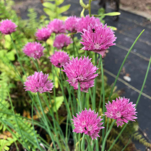 Chives 'Forescate'  - large flowering and bit more robust cultivar for ornamental and edible garden