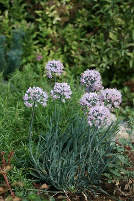 German Garlic - Allium senescens 'Blue Eddy' - cute small perennial for sunny flower bed