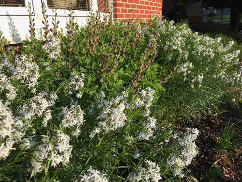 Amsonia 'Halfway to Arkansas'  - showy perennial for sunny garden