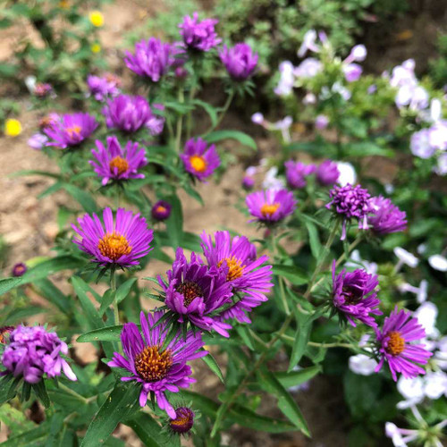 New England Aster 'Herbstflieder' - nativar with rose-purple flowers and height of 3'-3.5'
