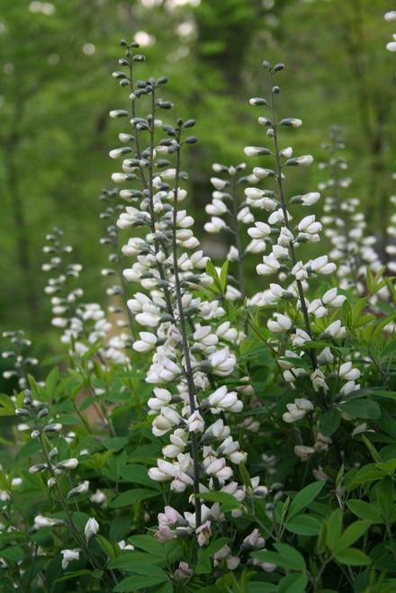 White flowering form of Baptisia australis with dense wide vase shape clumps ©Tom Morris
