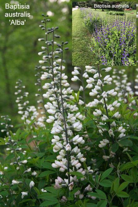 Baptisia autralis 'Alba' - white flowering form of otherwise common Blue Wild Indigo ©Tom Morris