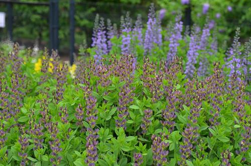 Baptisia 'Twillight Prairie Blues' (syn. 'Twilite') - nice robust perennial for sunny or half-sunny garden. ©Mt. Cuba