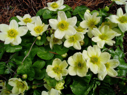 Marsh Marigold 'Alba' - moisture loving perennial with white flowers with yellow centers