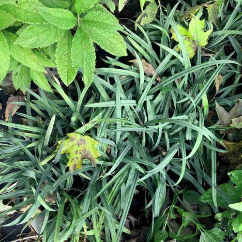 Carex laxiculmis 'Hobb' (Bunny Blue Sedge) - clump-forming, evergreen sedge for half shade or shade garden