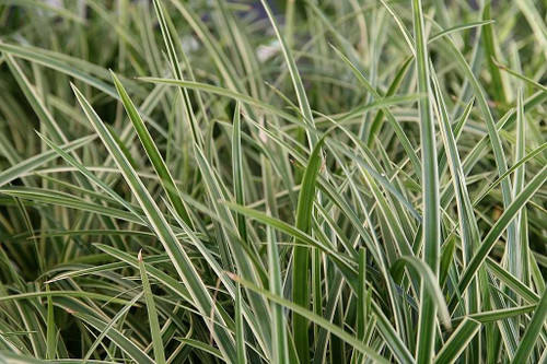 Japanese Sedge 'Ice Dance' - reliable evergreen groundcover for half shade or shade garden