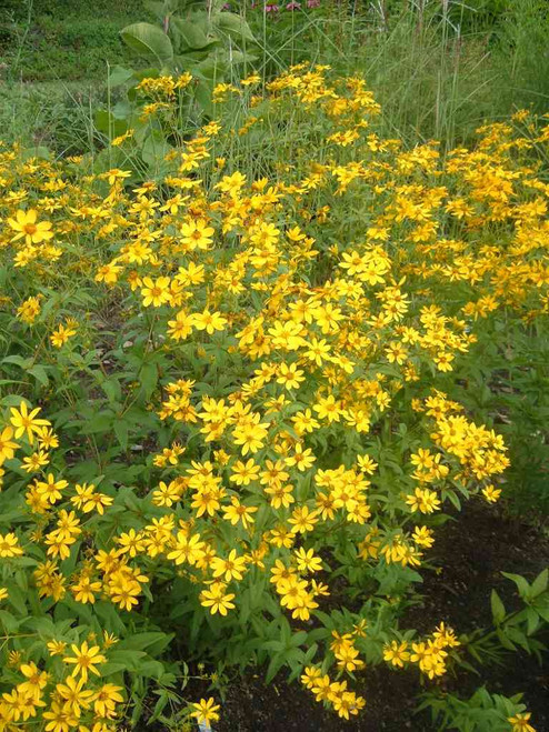 Coreopsis major - Greater tickseed - uknown, but potentially excellent native perennial for drier soil