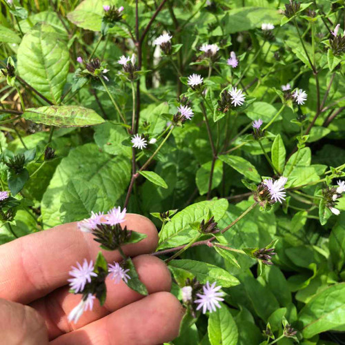 Carolina Elephantsfoot - wildflower with groundcovering tendencies, ideal for shade to dry shade garden