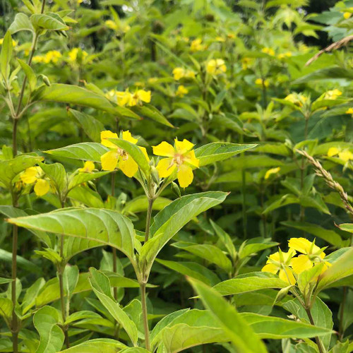 Fringed Loosestrife - Lysimachia ciliata - wildflower with long flowering season, ideal for colonizing larger areas