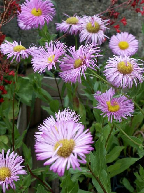 Erigeron speciosus 'Pink Jewel' - summer perennial for sunny garden