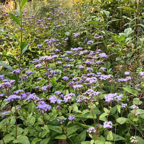 Conoclinum coelestinum (Eupatorium) - Blue Mistflower - perennial providing late source of nectar for monarch and other butterflies